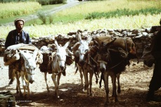On the move in Nuristan -- loaded donkeys bringing supplies into Afghanistan.